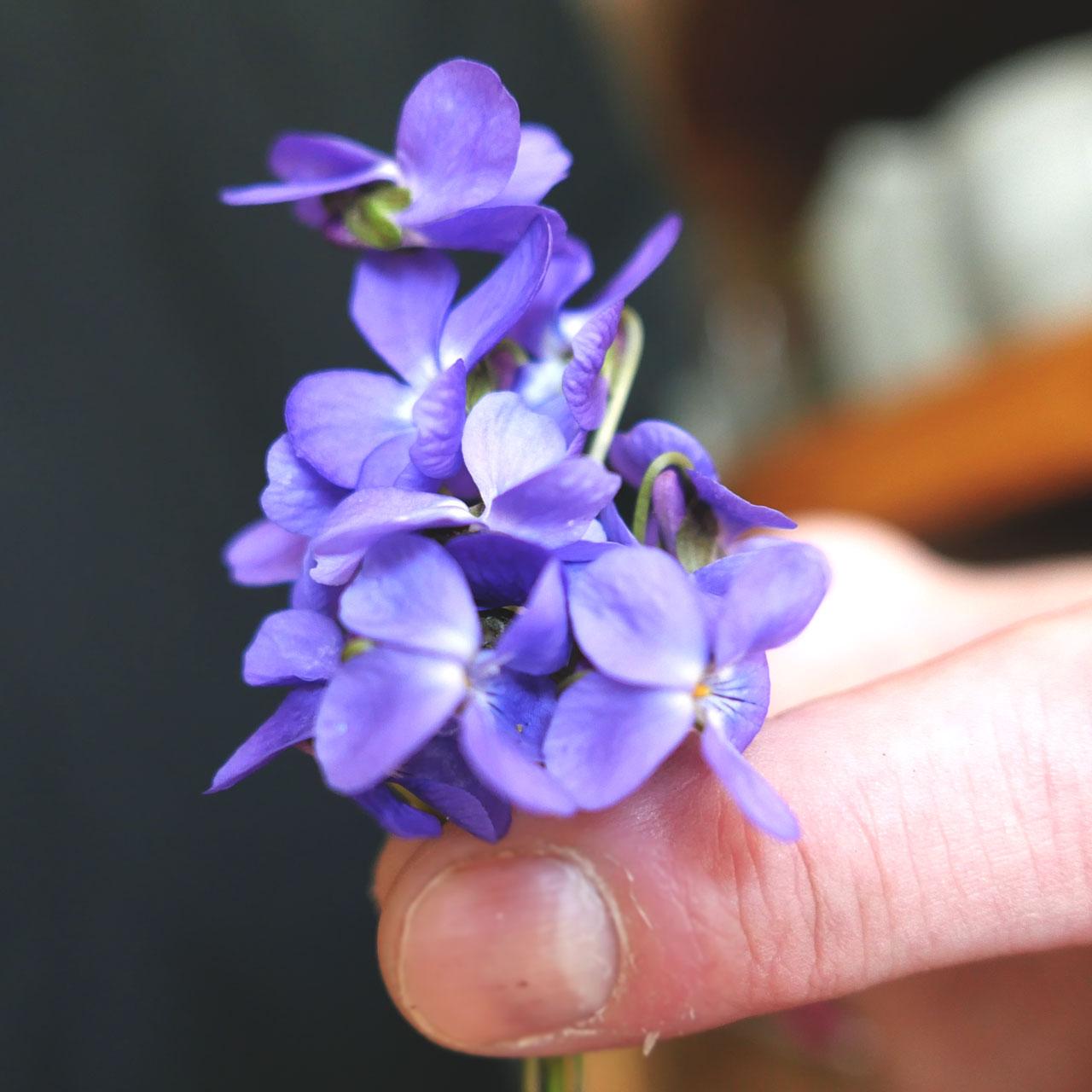 offrir des violettes