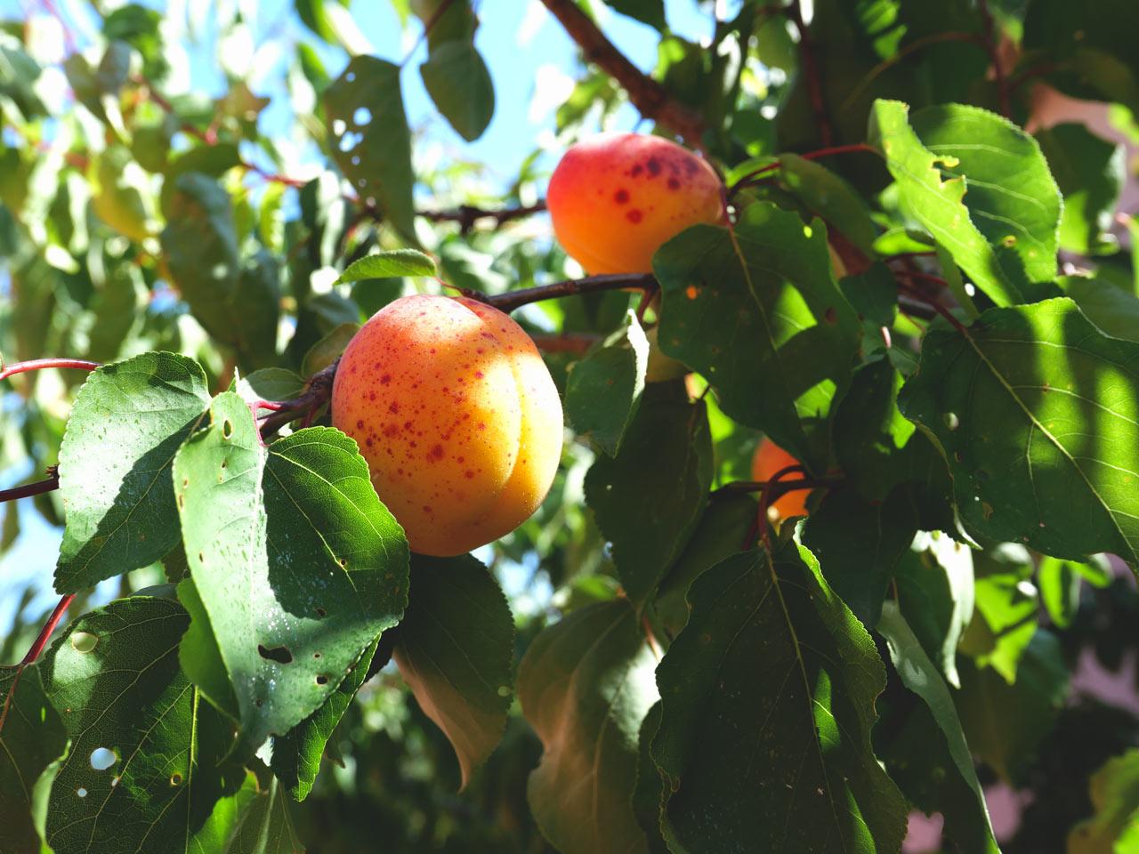 Provence-abricot-été